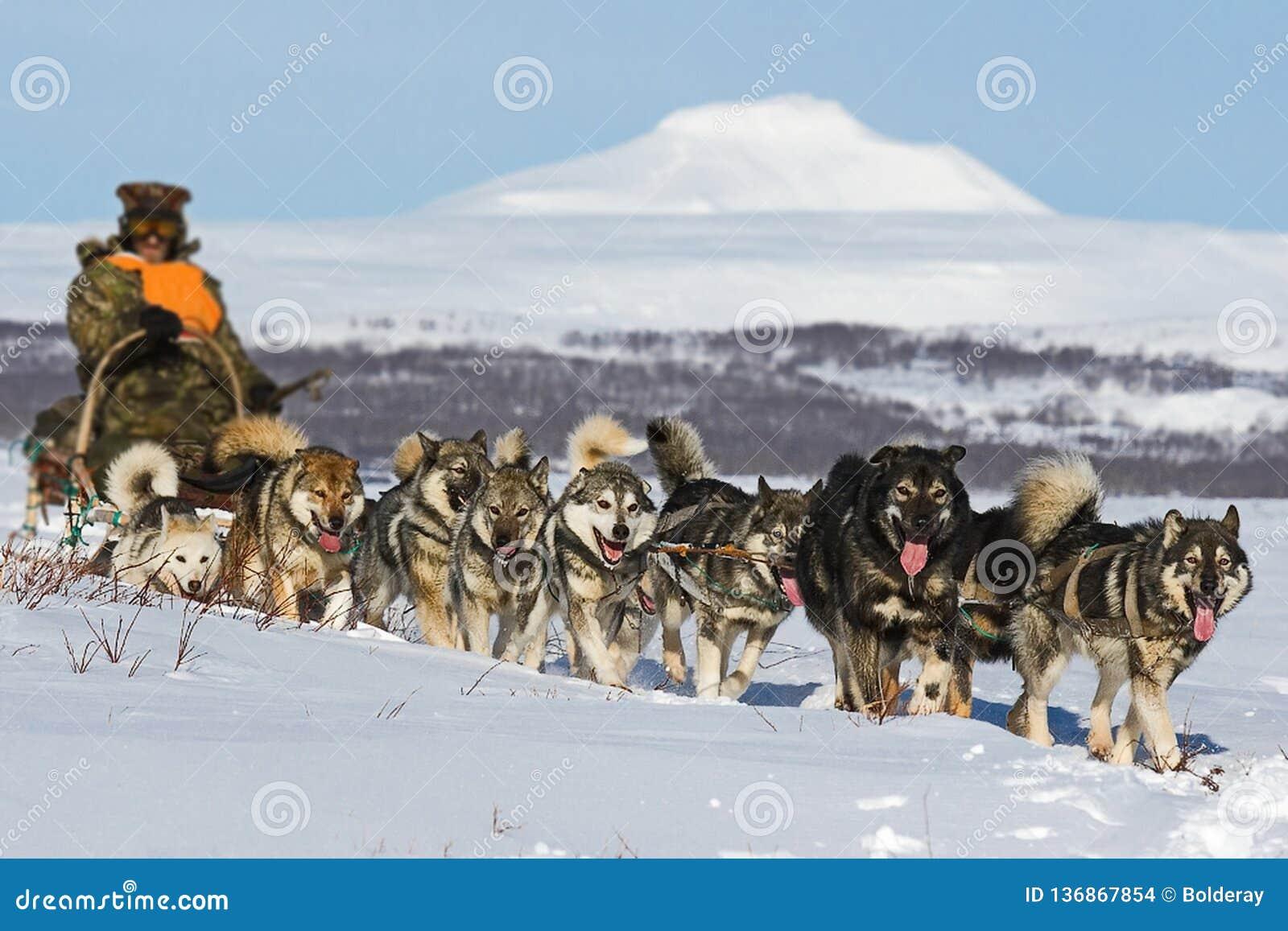 Traîneau de chien Le Malamute d Alaska est tout à fait un grand type indigène chien, conçu pour travailler dans une équipe, une d