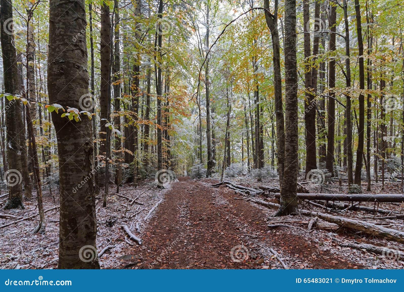 Traînez dans les bois d automne couverts de neige