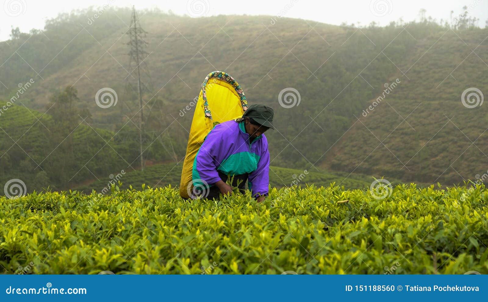 Trabajadores azules famosos de las plantaciones del té de Sri Lanka