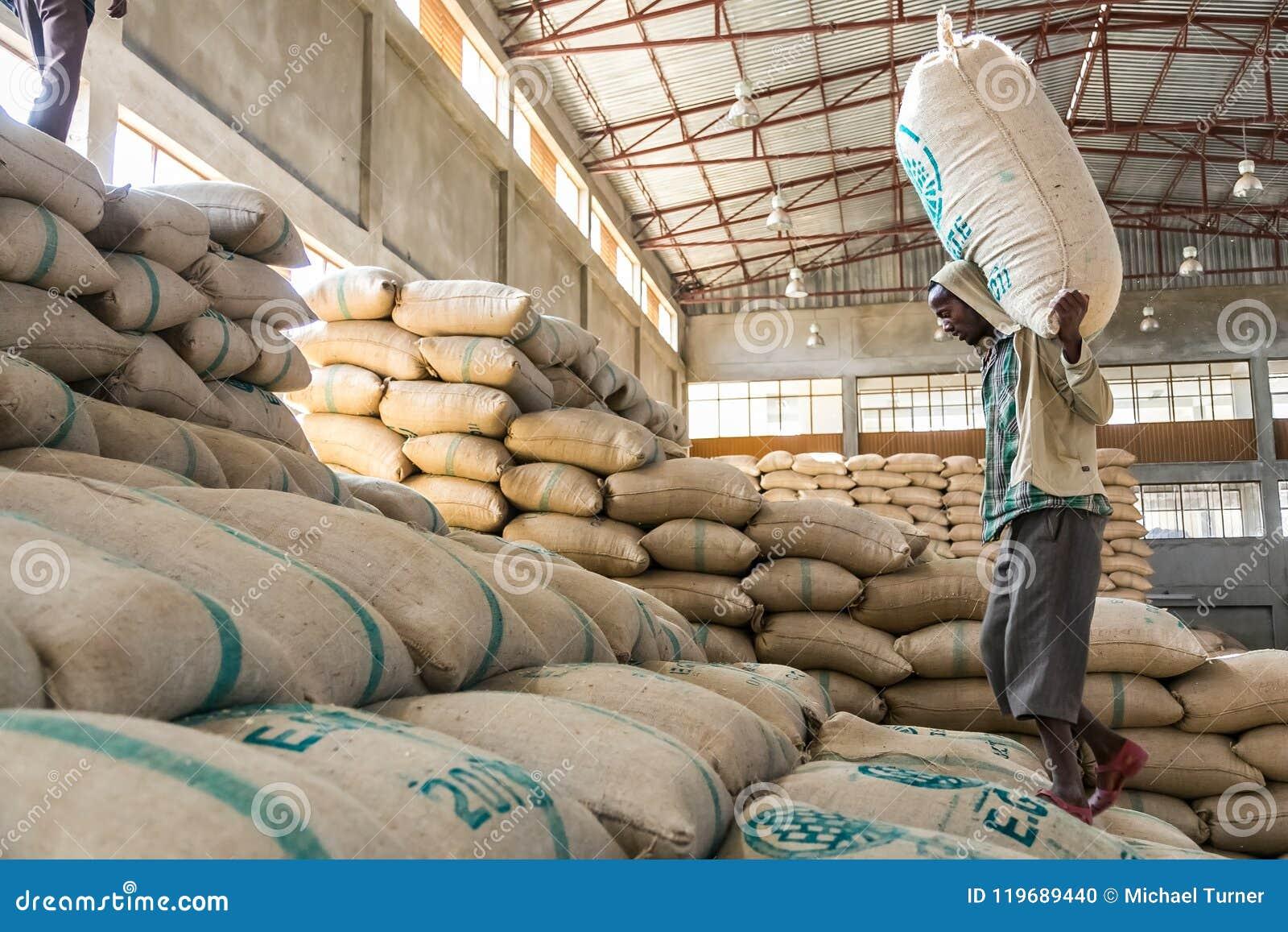 Trabajadores que llevan los bolsos grandes de los granos de café crudos, hombres que apilan el la