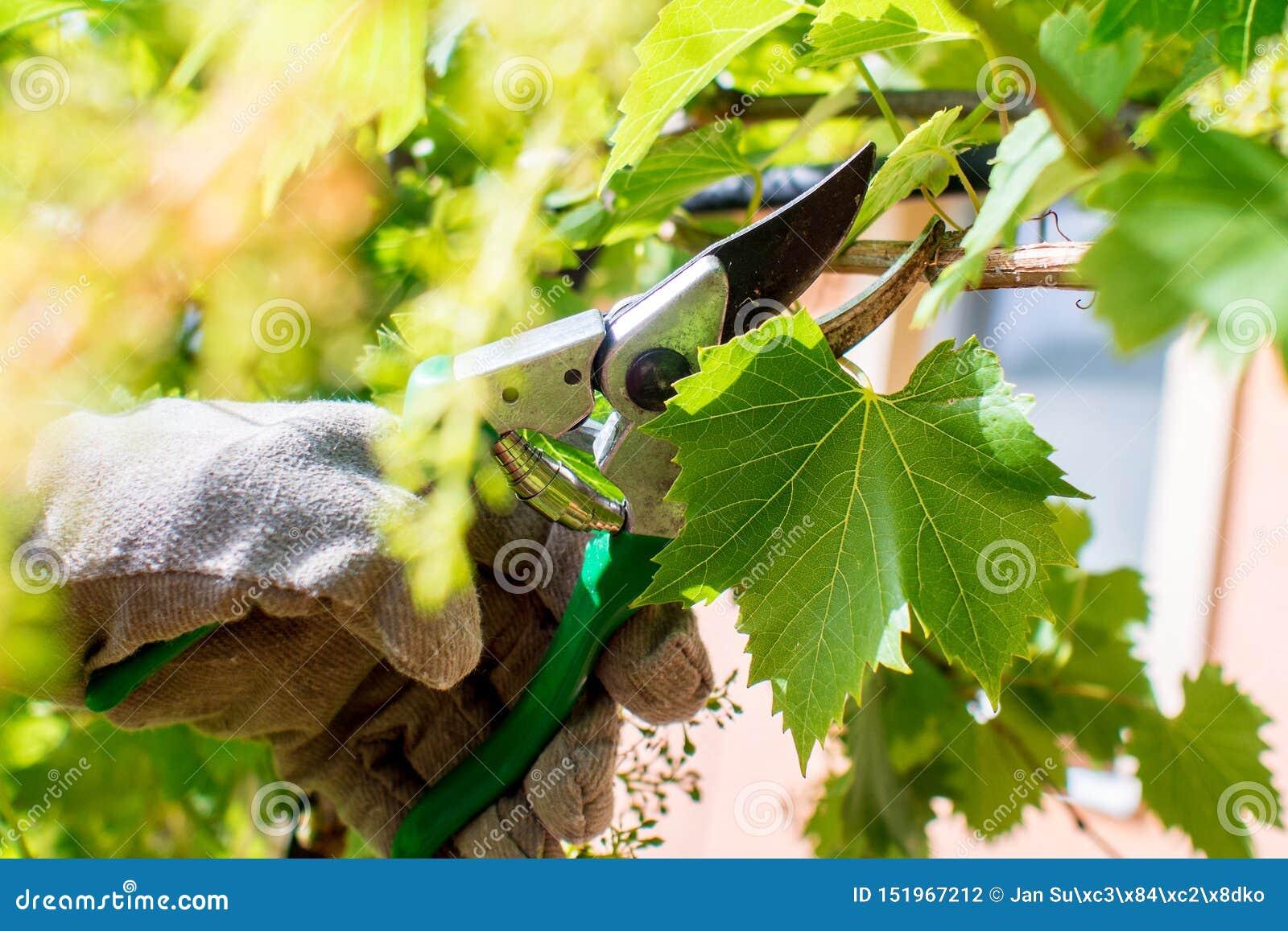 Trabajando en jardín, corte de la uva de la vid