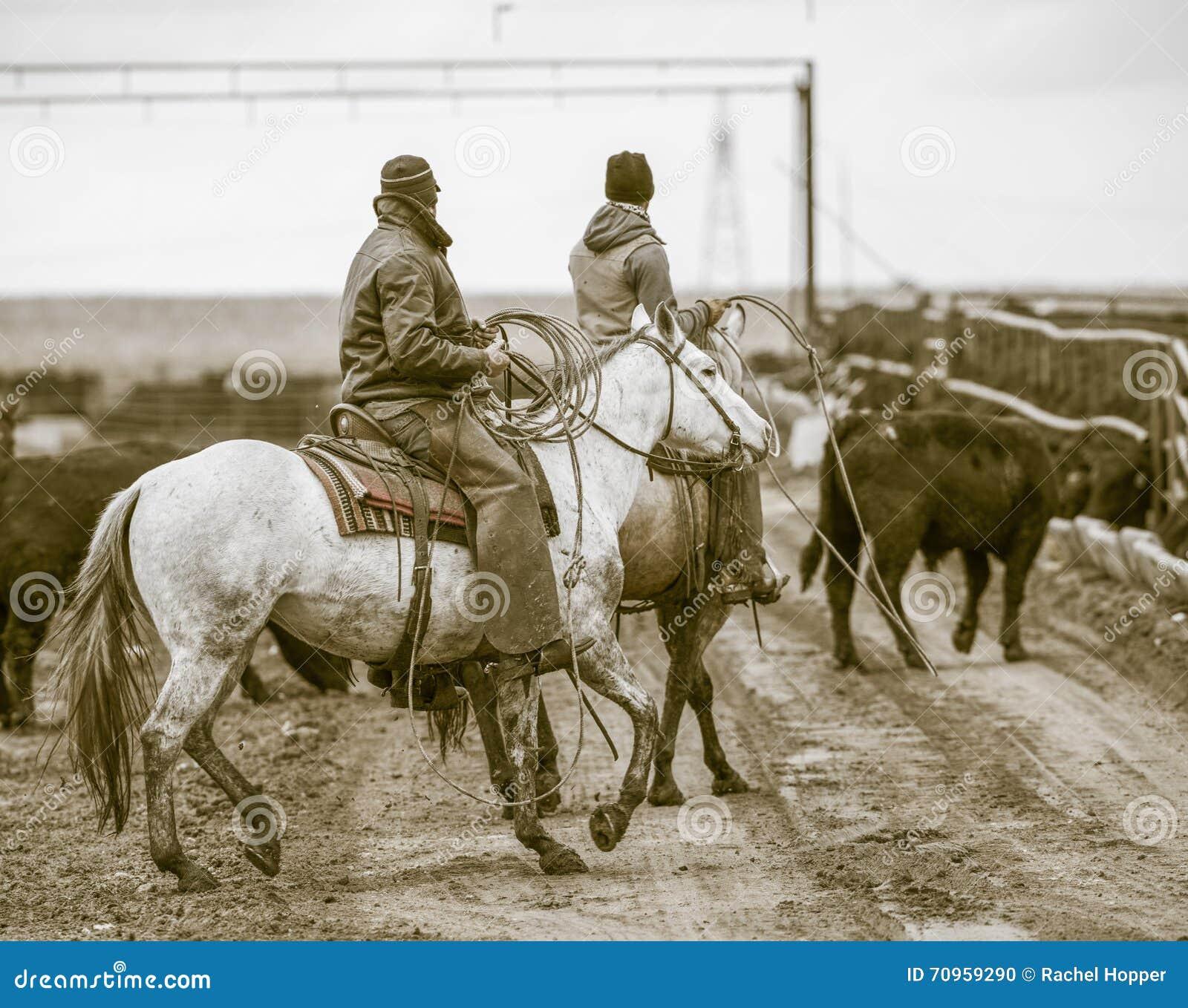 Trabajo del forraje Vaqueros americanos