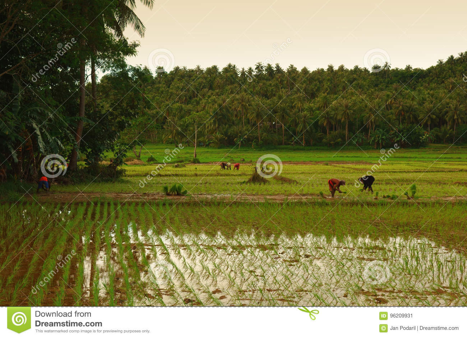 Trabalho de campo do arroz