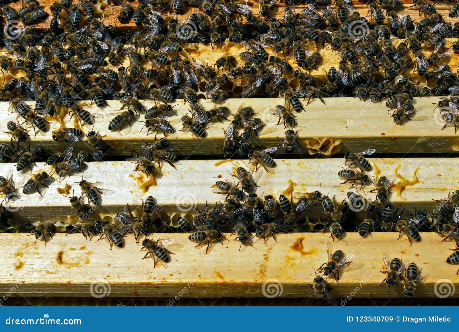 Trabalhos de equipa na produção do mel dentro da caixa da colmeia