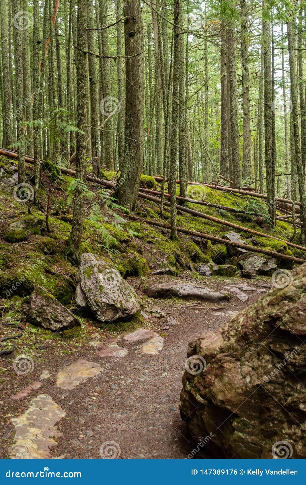 Traccia che gira attraverso la foresta muscosa