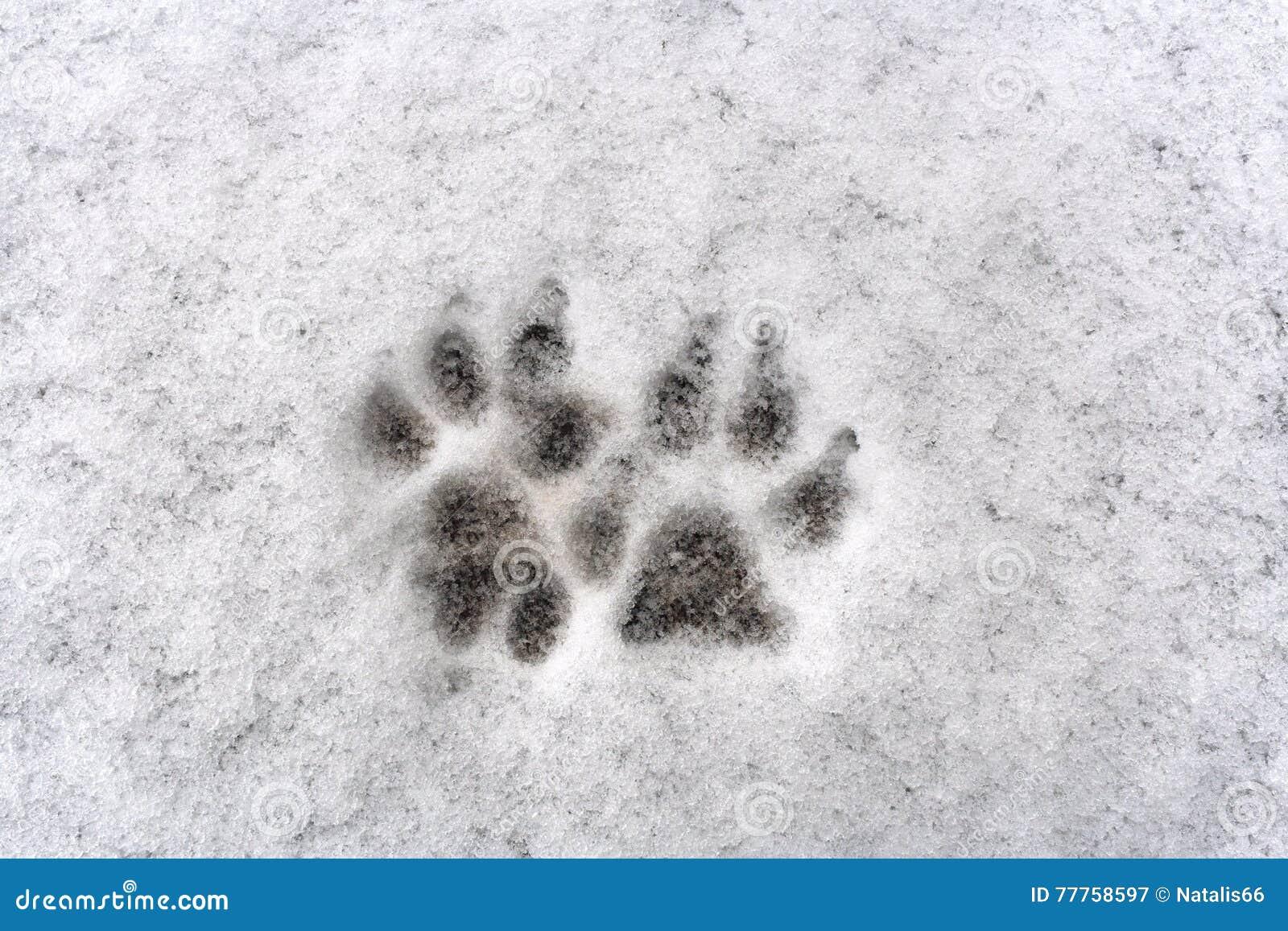 Traces de patte de deux chiens sur la neige fraîche de fond blanc
