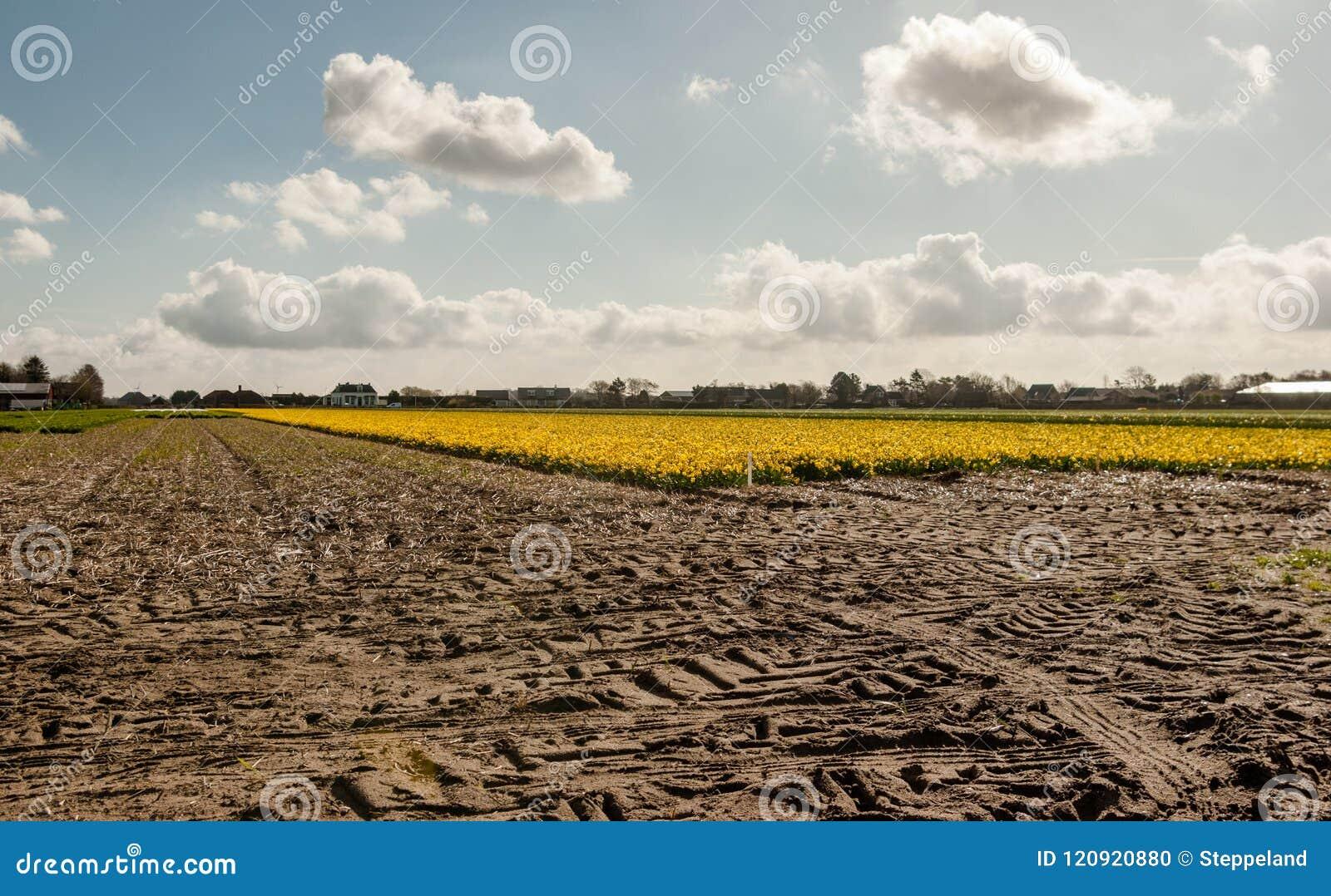 Traces de tracteur sur le flowerfield