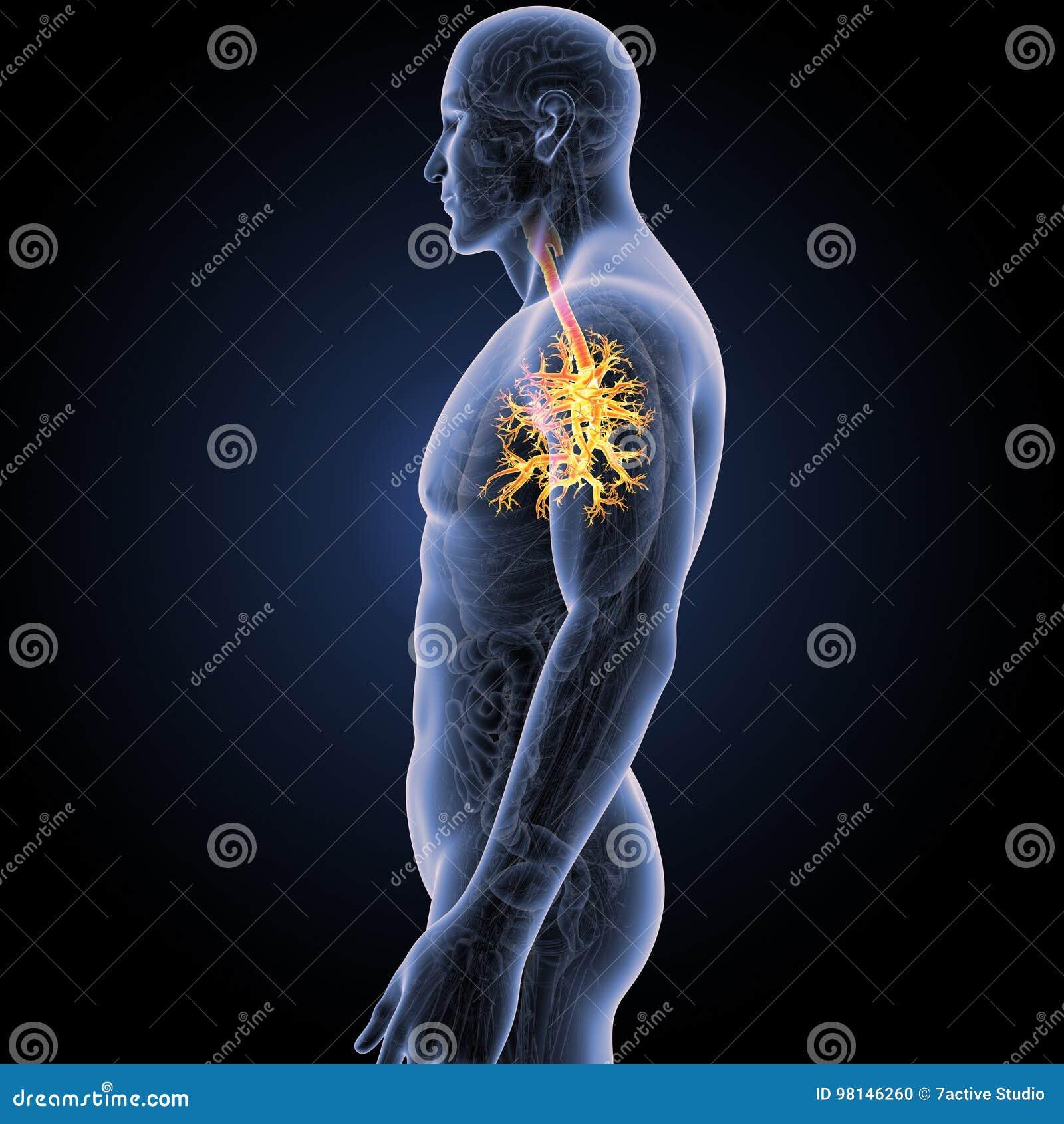 Trachea Mit Anatomie-Körper-Seitenansicht Stock Abbildung ...