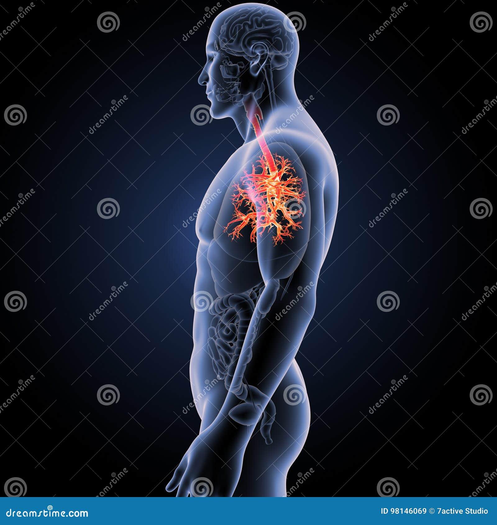 Trachea Mit Organseitenansicht Stock Abbildung Illustration Von