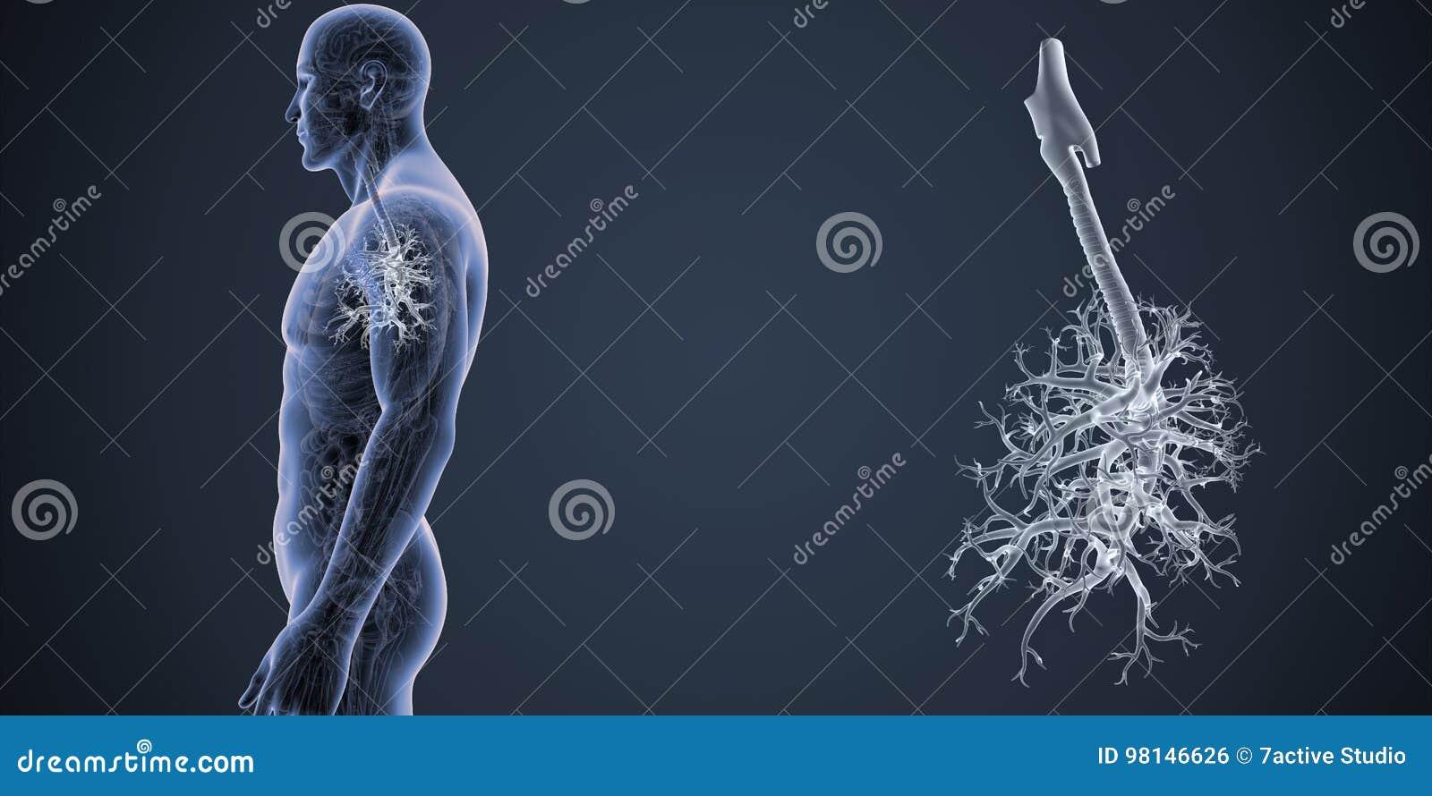 Tracheazoom Mit Anatomie-Seitenansicht Stock Abbildung ...