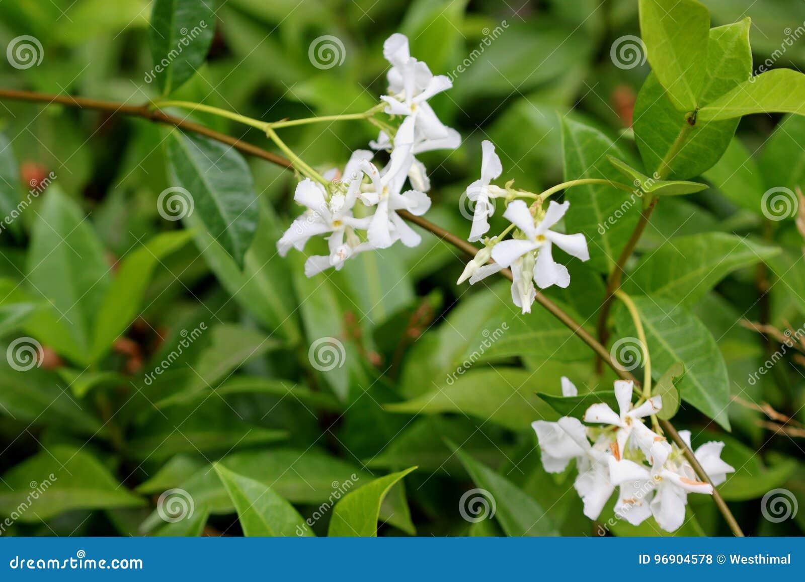 Trachelospermum Jasminioides Star Jasmine Stock Photo Image Of