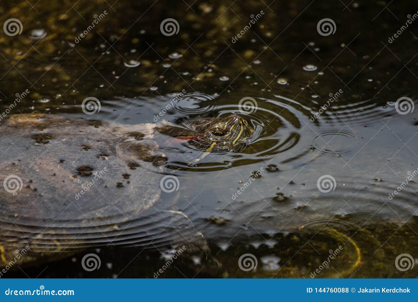 Trachemys scripta elegans in the pond