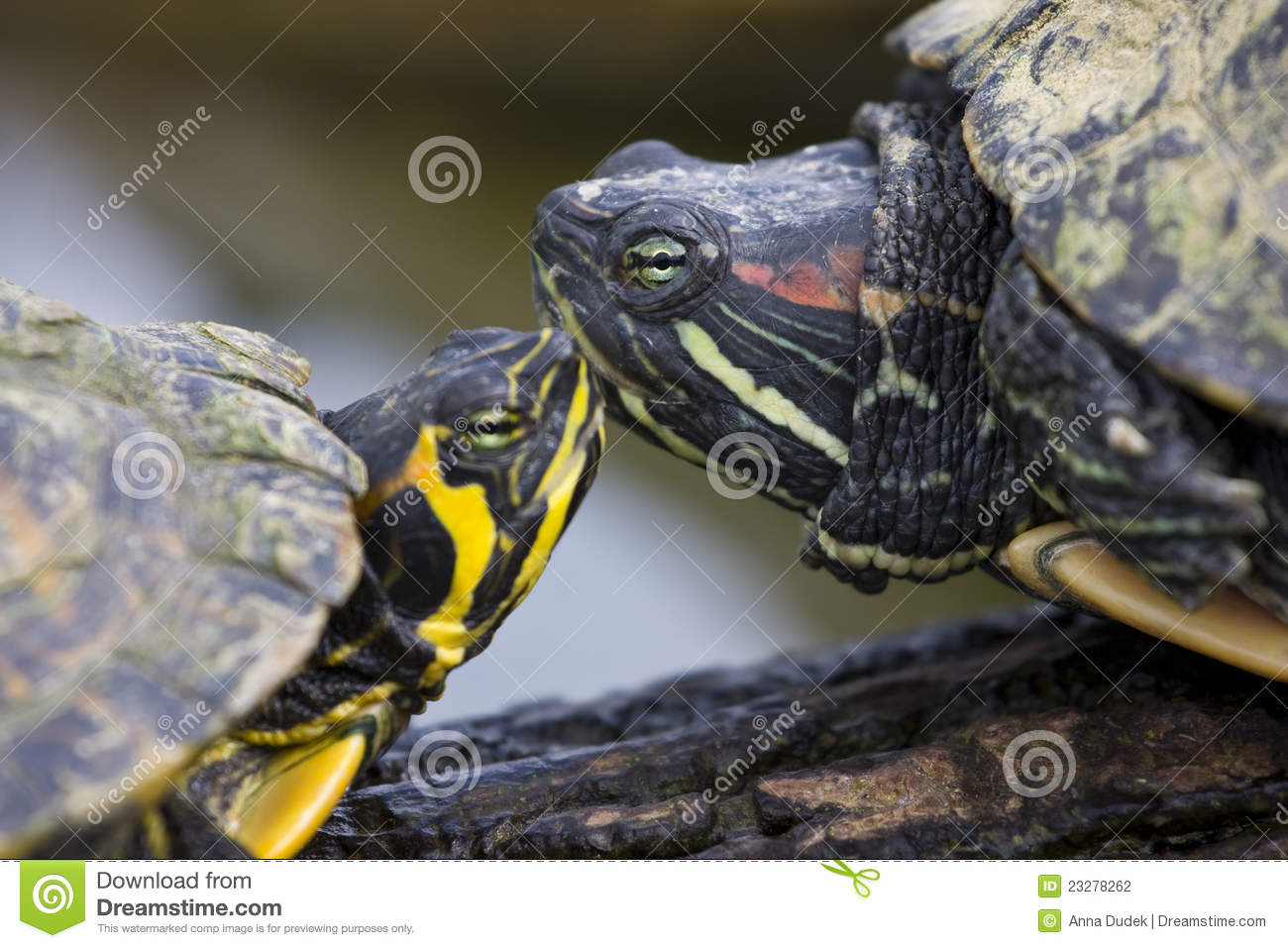 Trachemys scripta elegans red eared sliders stock photo for Trachemys scripta