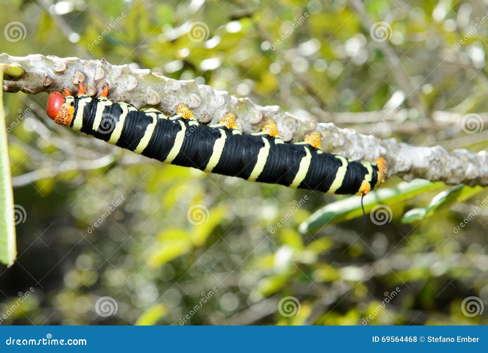 Tracteur chenilles jaune et noir photo stock image 69564468 - Chenille verte et noire ...