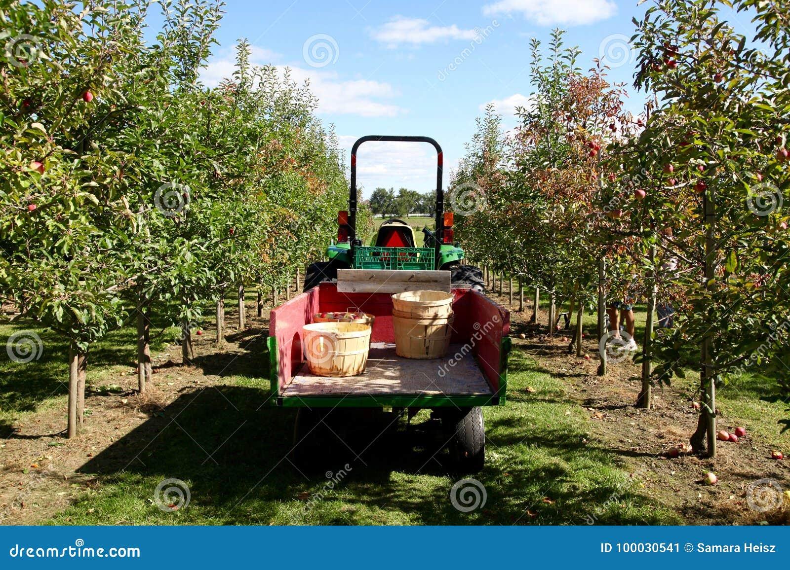 Tracteur moissonnant des pommes