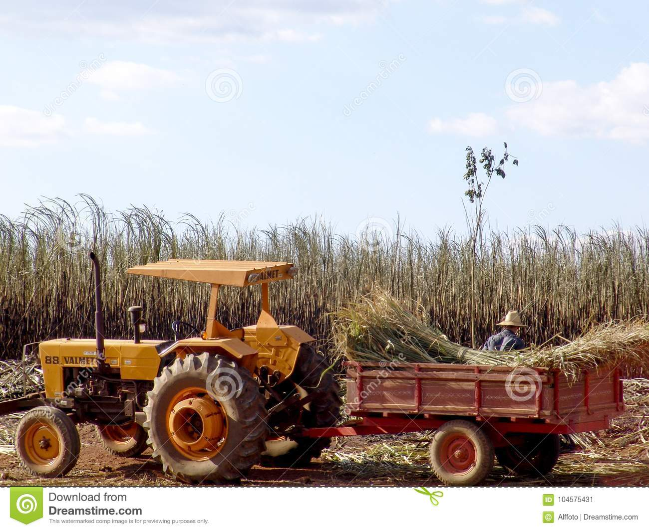 Tractor in labour harvest sugar cane
