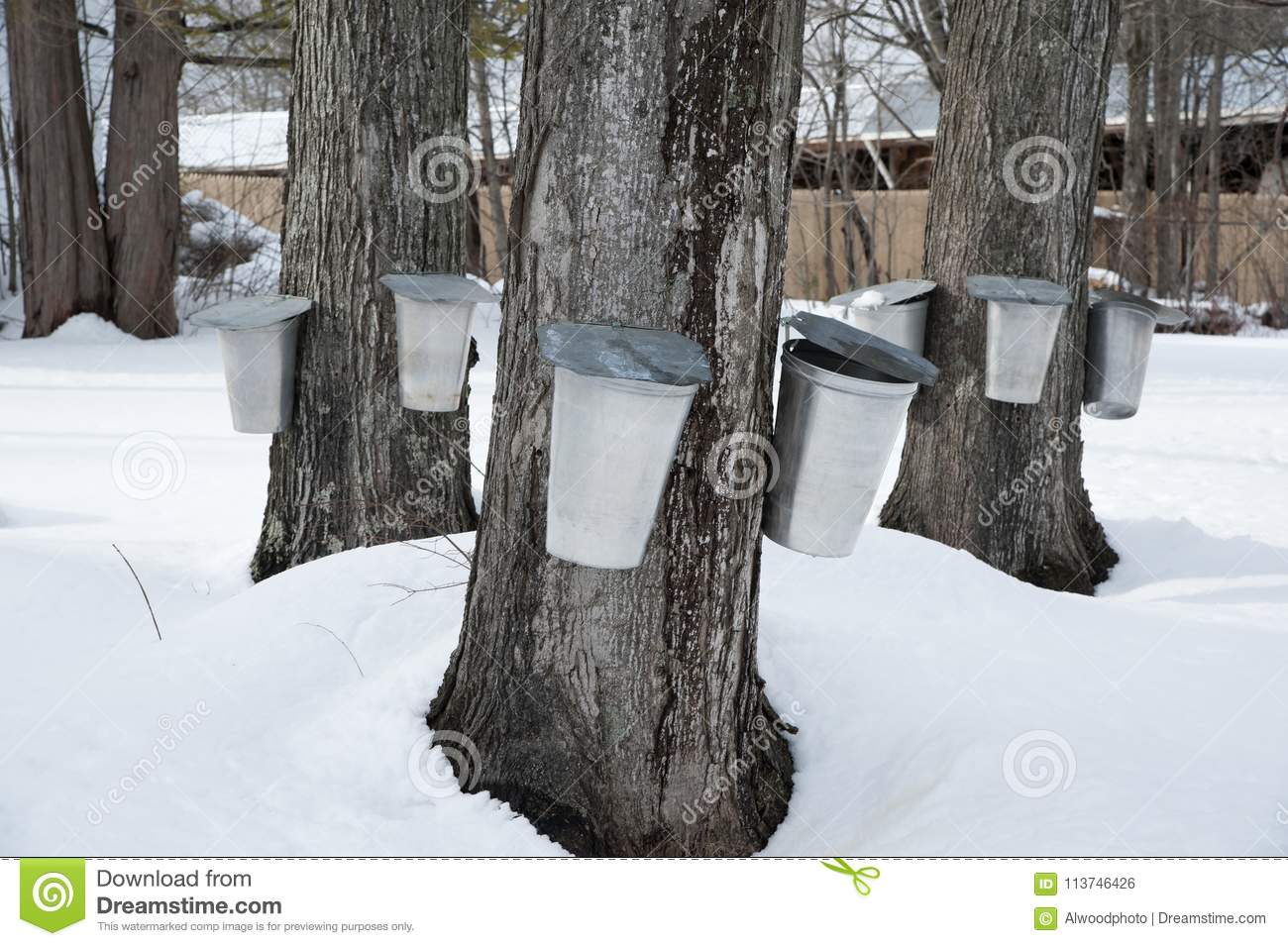 c91a092226f Traditional buckets are used to collect sap from maple trees by tapping the  trees during early spring in New England to make maple syrup and maple  sugar.