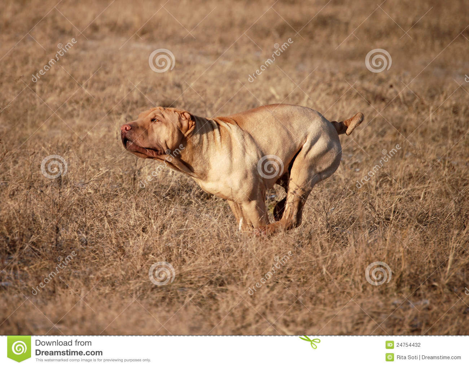 Sprinter Dog Breed