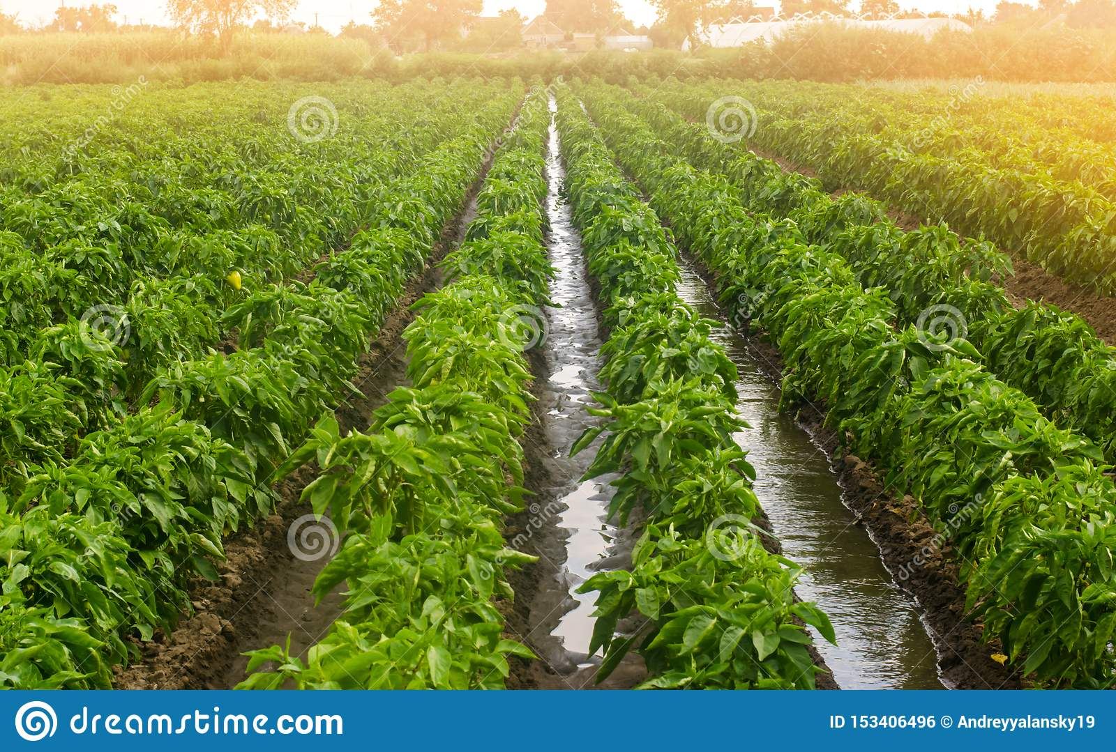 Traditional watering pepper plantations. Farming and agriculture. Cultivation, care and harvesting. Grow agricultural products