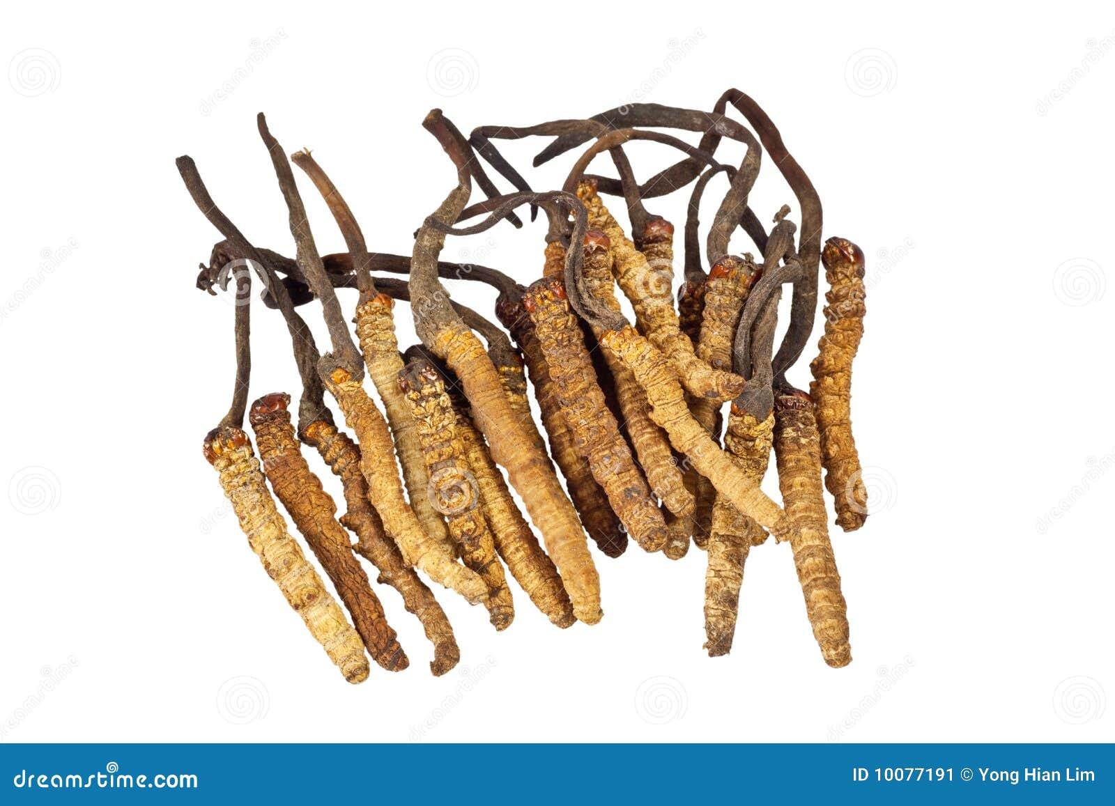 Traditionele Chinese Geneeskunde - sinensis Cordyceps