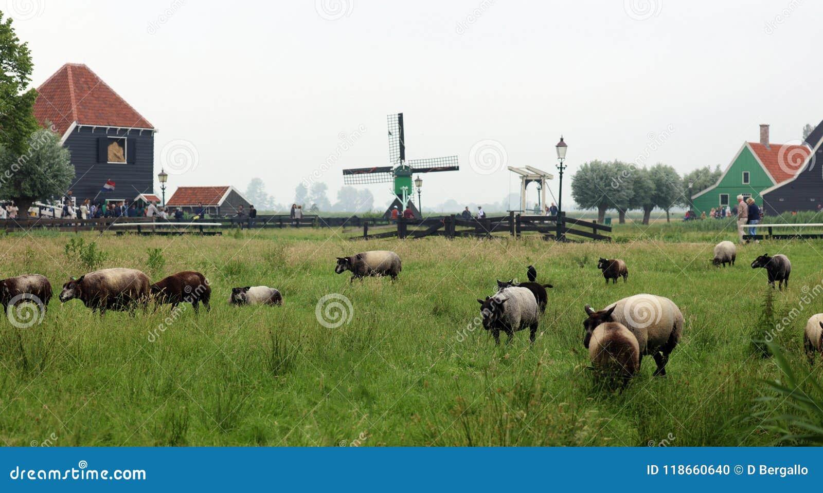 Traditionele zaanse schans windmolens en schapen in landbouwbedrijven in Nederland Unieke mooie en wilde Europese stad