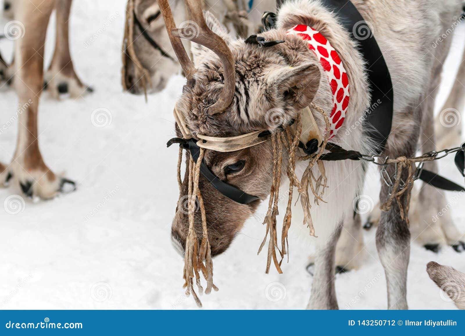 Traditionell ferie av folket av Sibirien Lag av renar