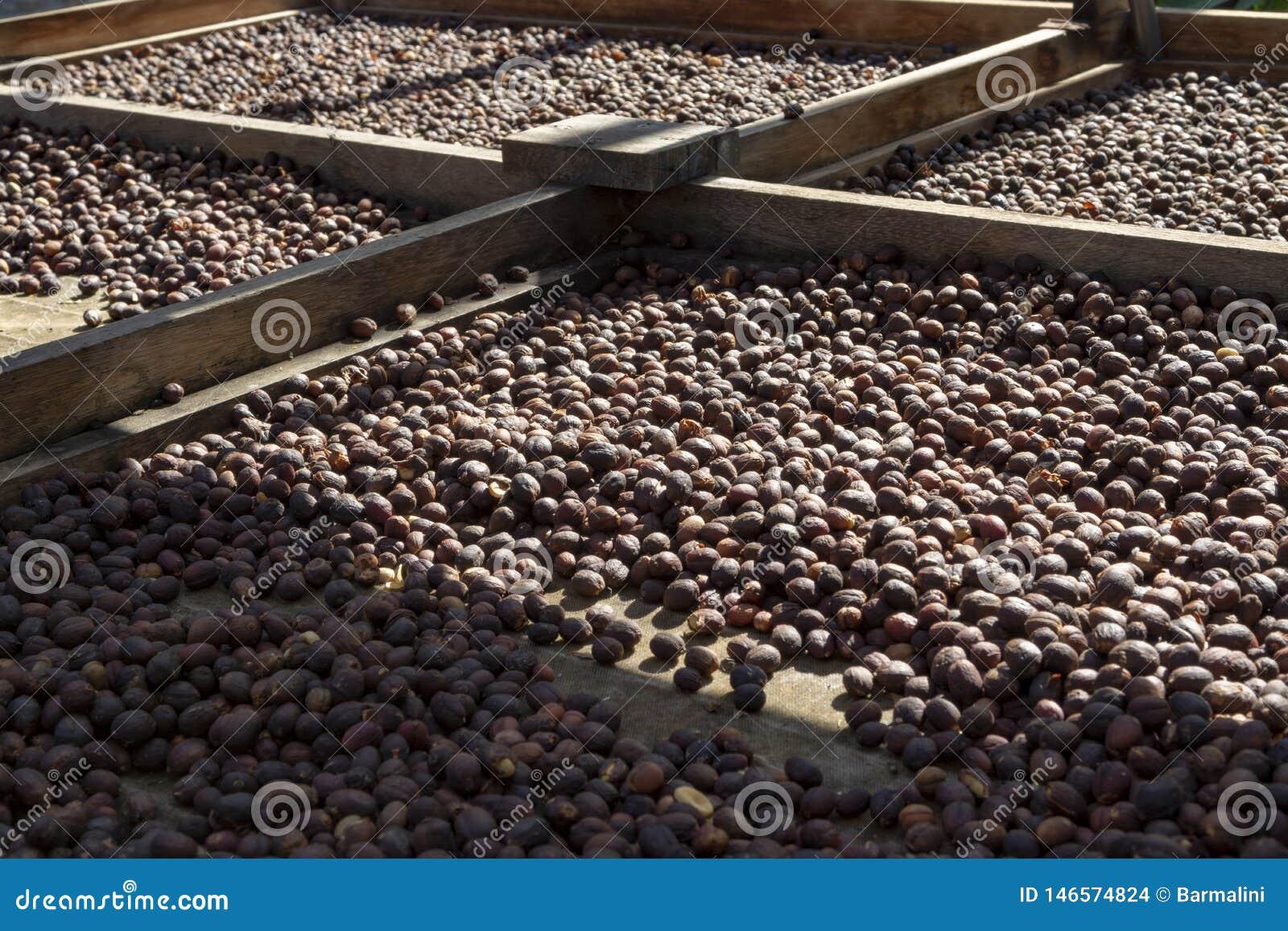 Traditionell metod av att torka mogna kaffeb?nor p? ?ppet raster utanf?r i solljus, bio kaffelantg?rd