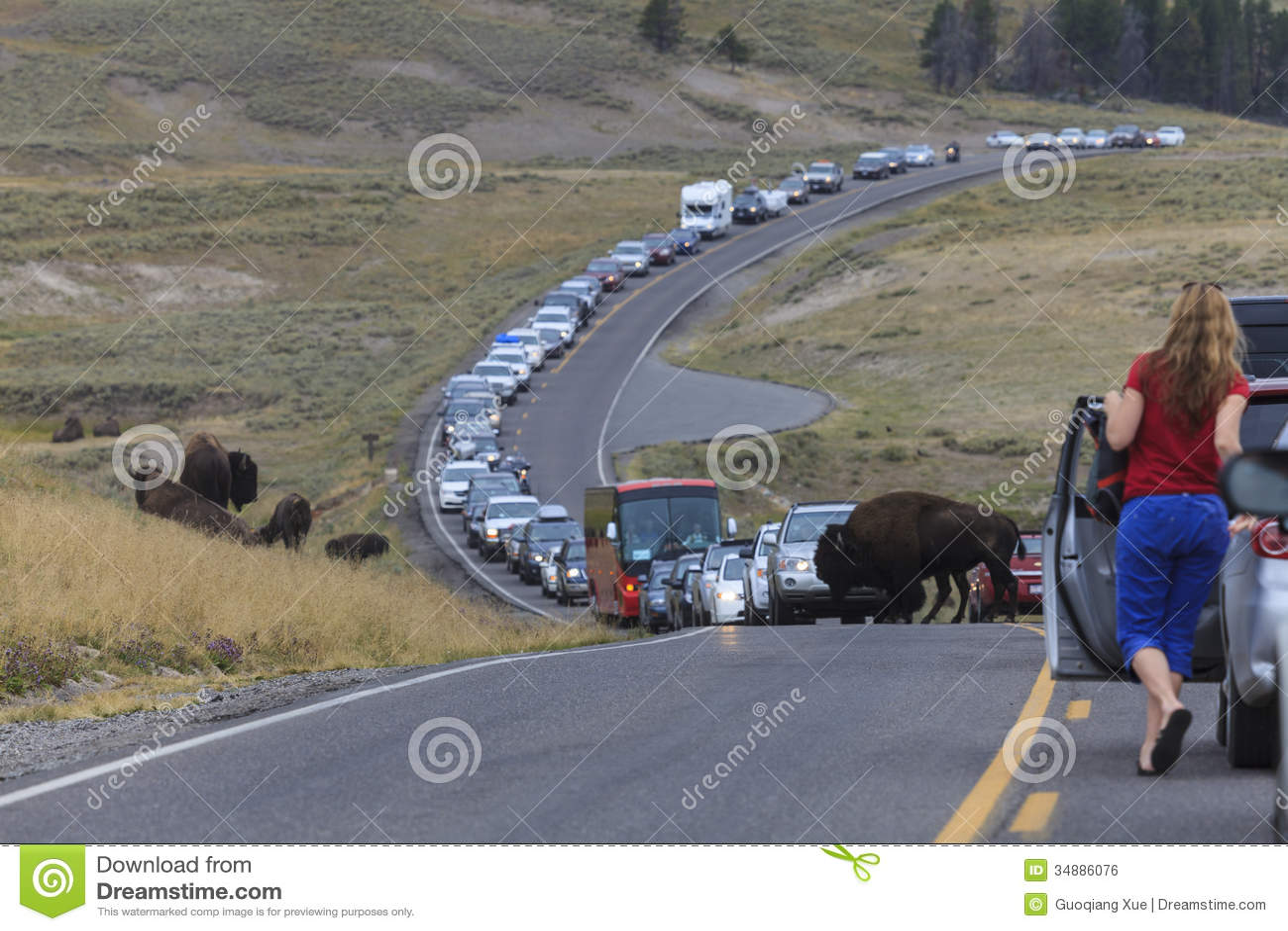 Used Cars Buffalo >> Traffic Jam In Yellowstone National Park Editorial Photo - Image of yellowstone, animal: 34886076