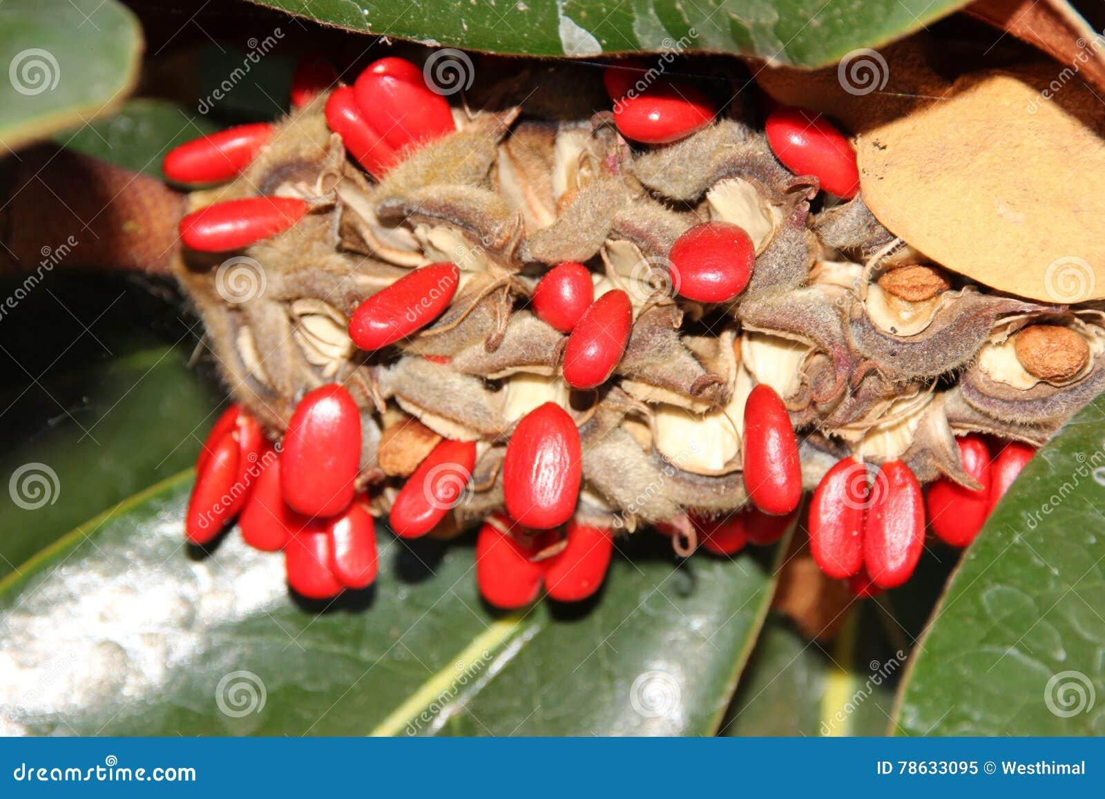tragen sie mit roten samen fr chte die grandiflora magnolie s dliche magnolien stier bucht. Black Bedroom Furniture Sets. Home Design Ideas