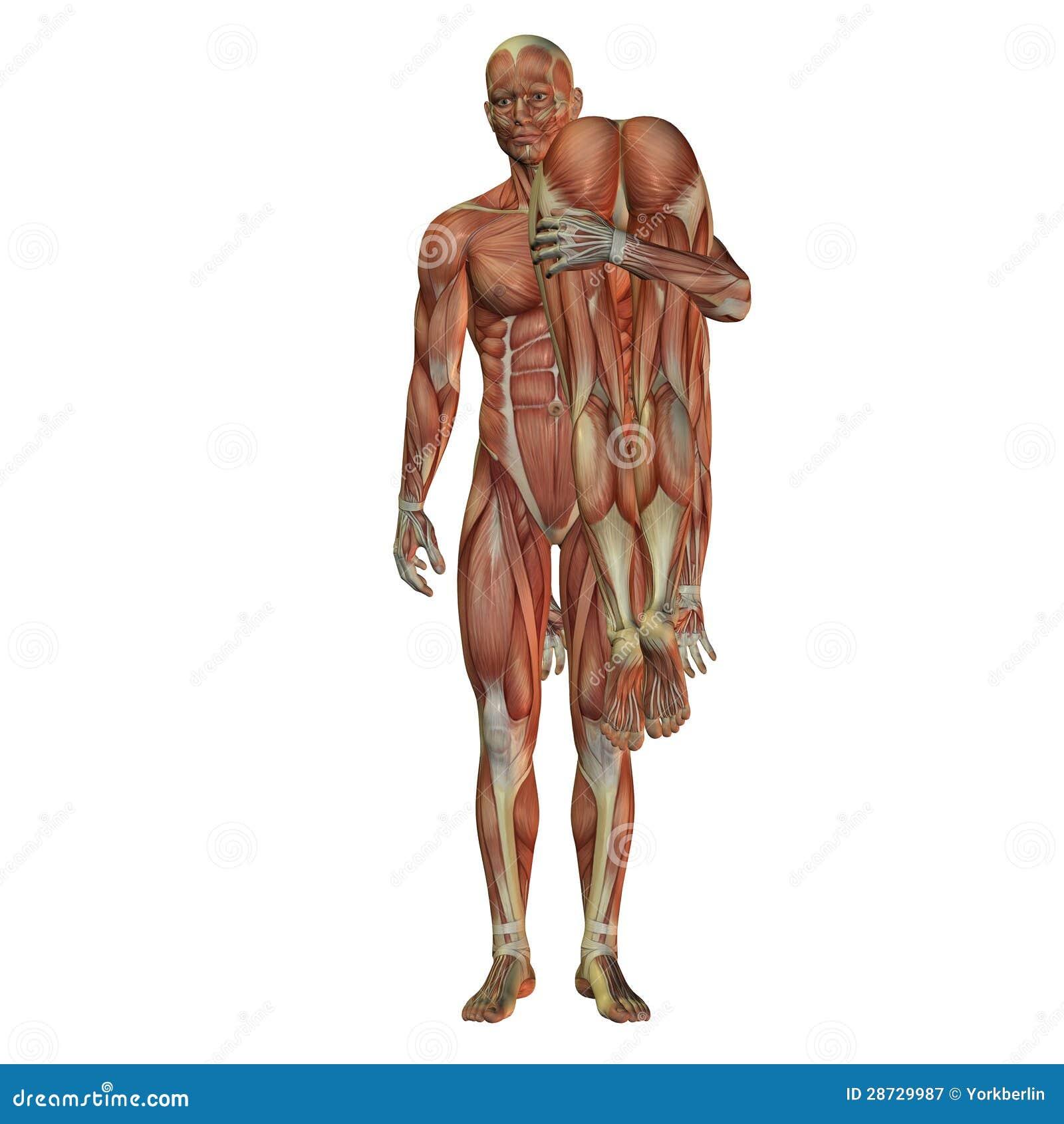 Großzügig Anatomie Malvorlagen Muskeln Fotos - Framing Malvorlagen ...