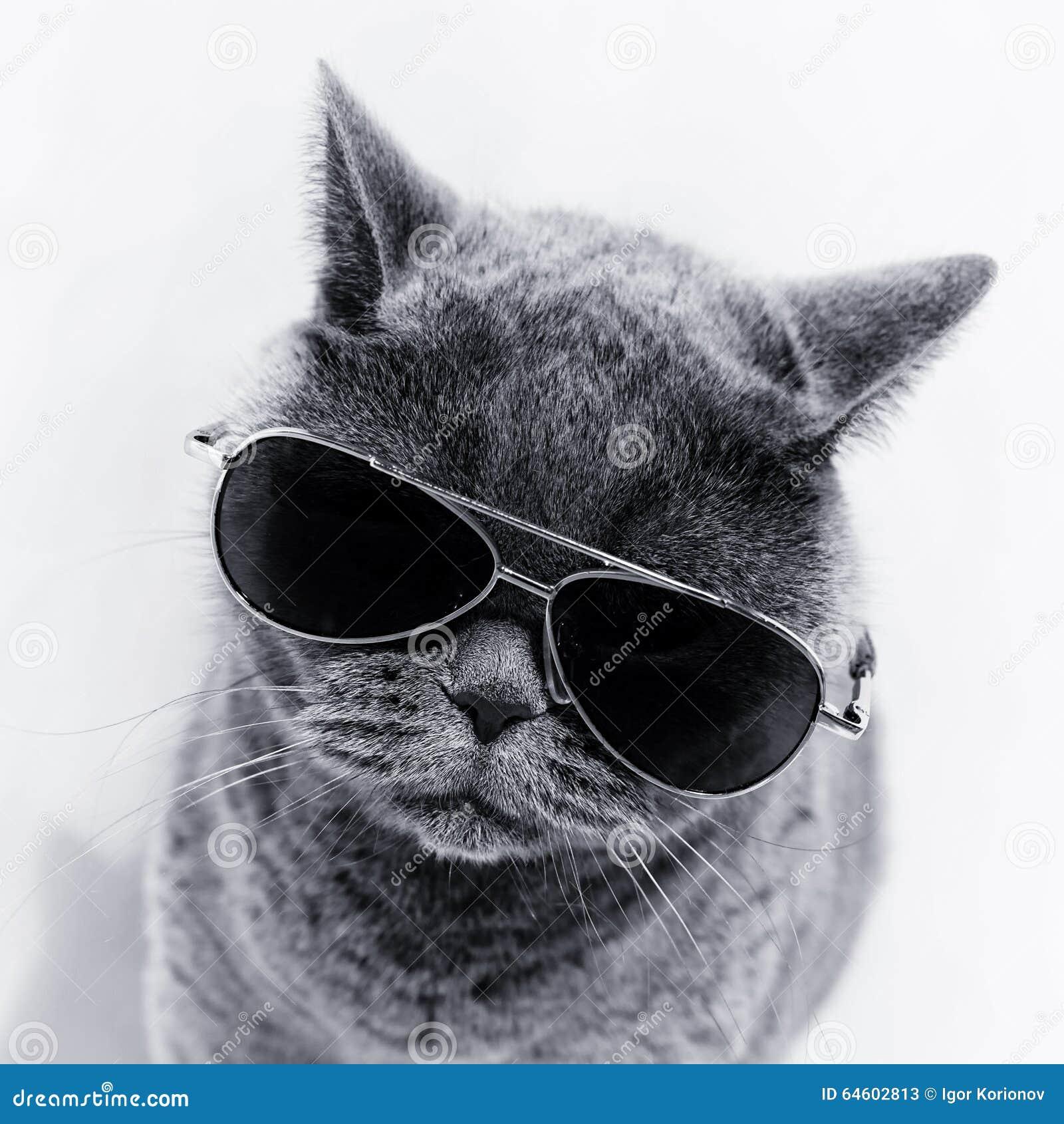 tragende sonnenbrillen der katze stockfoto bild 64602813. Black Bedroom Furniture Sets. Home Design Ideas