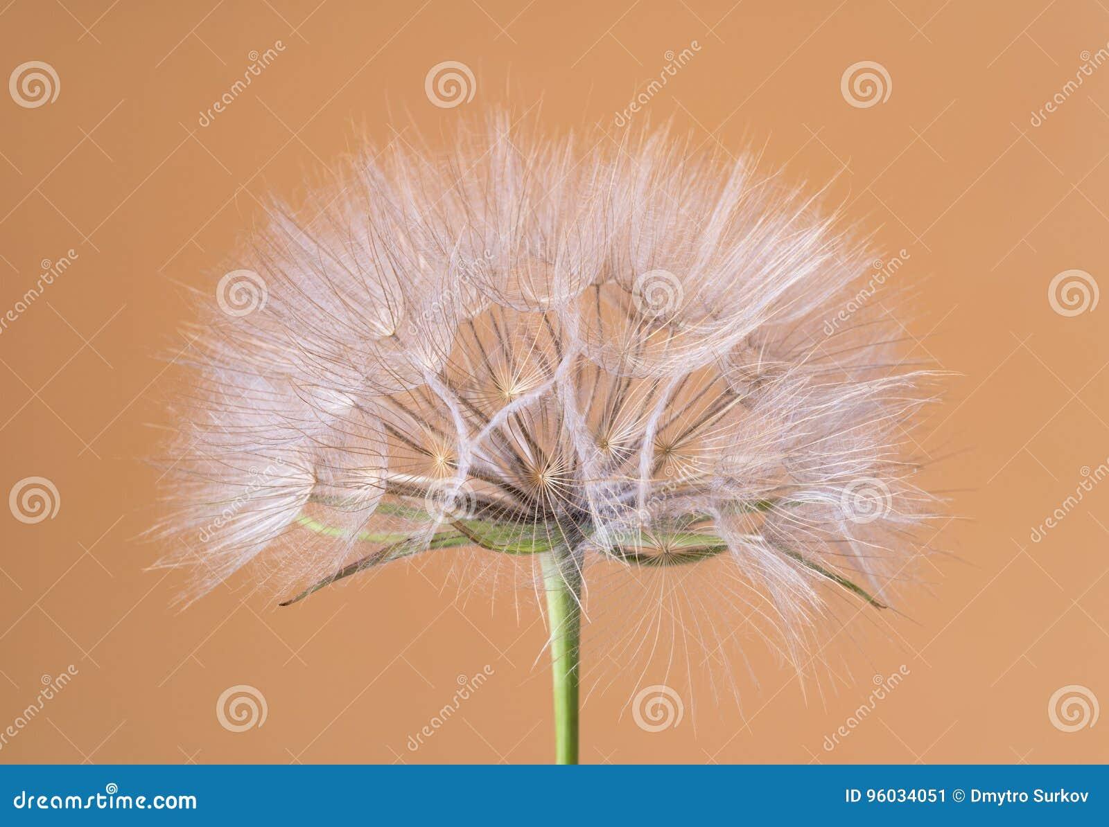 Tragopogon dubius, Dandelion, makro- wizerunek