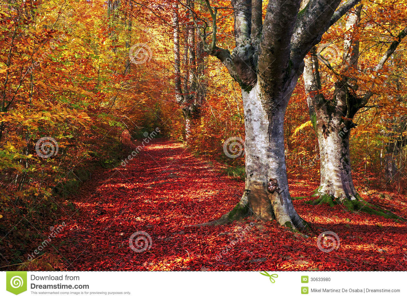 Trail in autumn beech forest