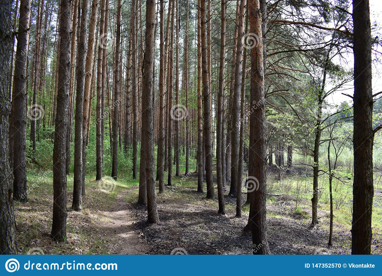 Trail path in the coniferous forest pine forest spring early summer