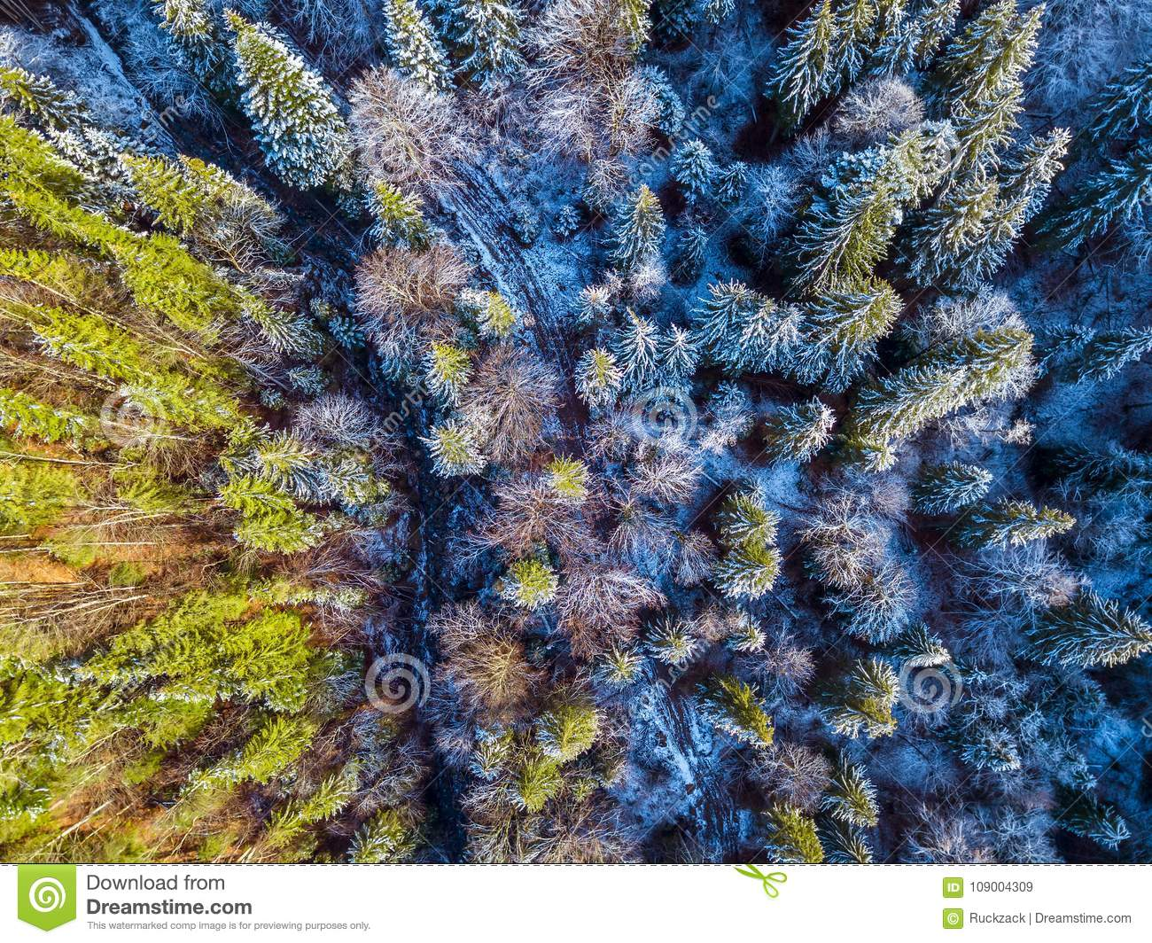 Trail and Snow in the Spruce Forest. Aerial View