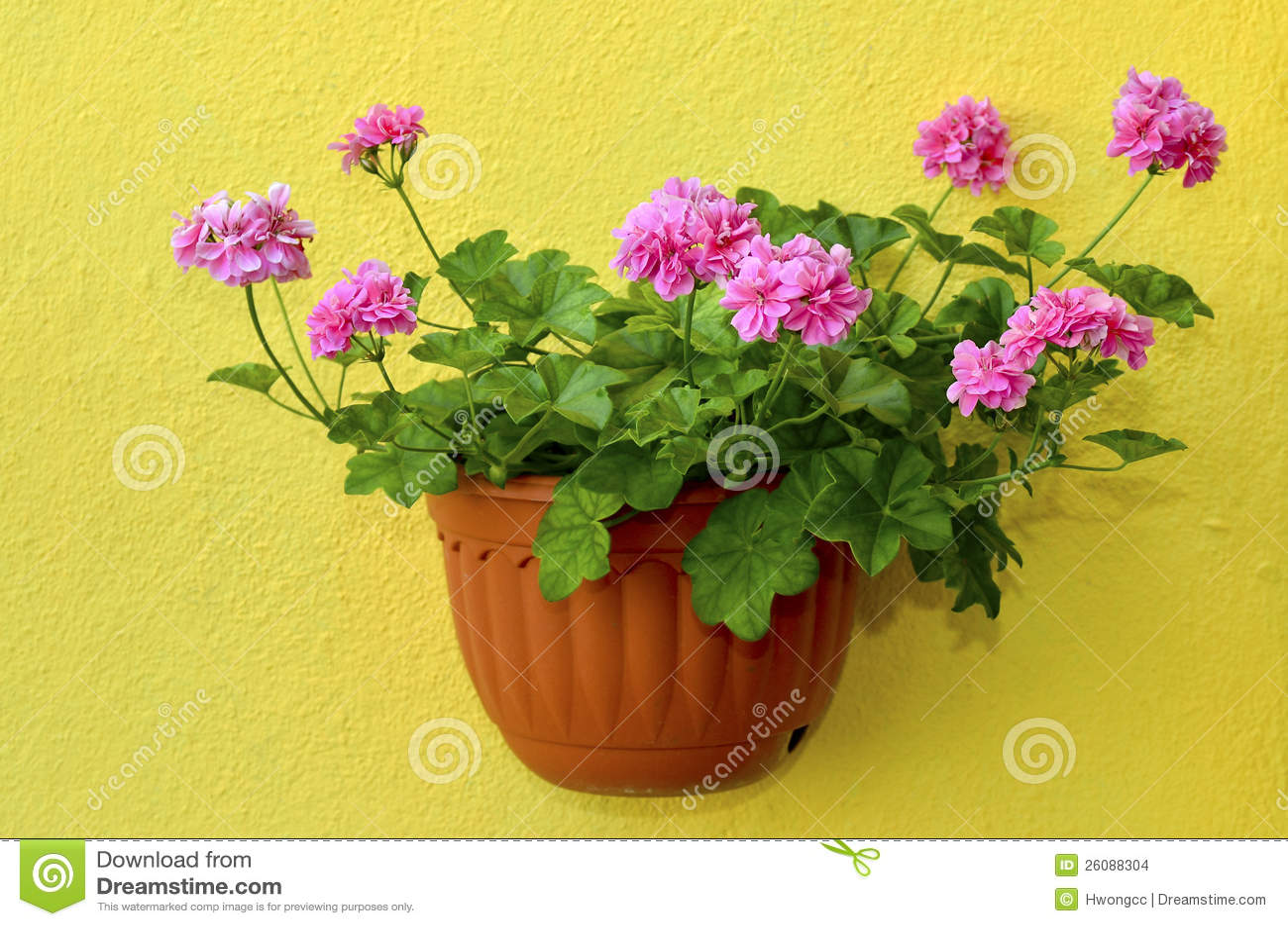 Trailing Ivy Geranium Flower Planter Stock Image Image Of Tree