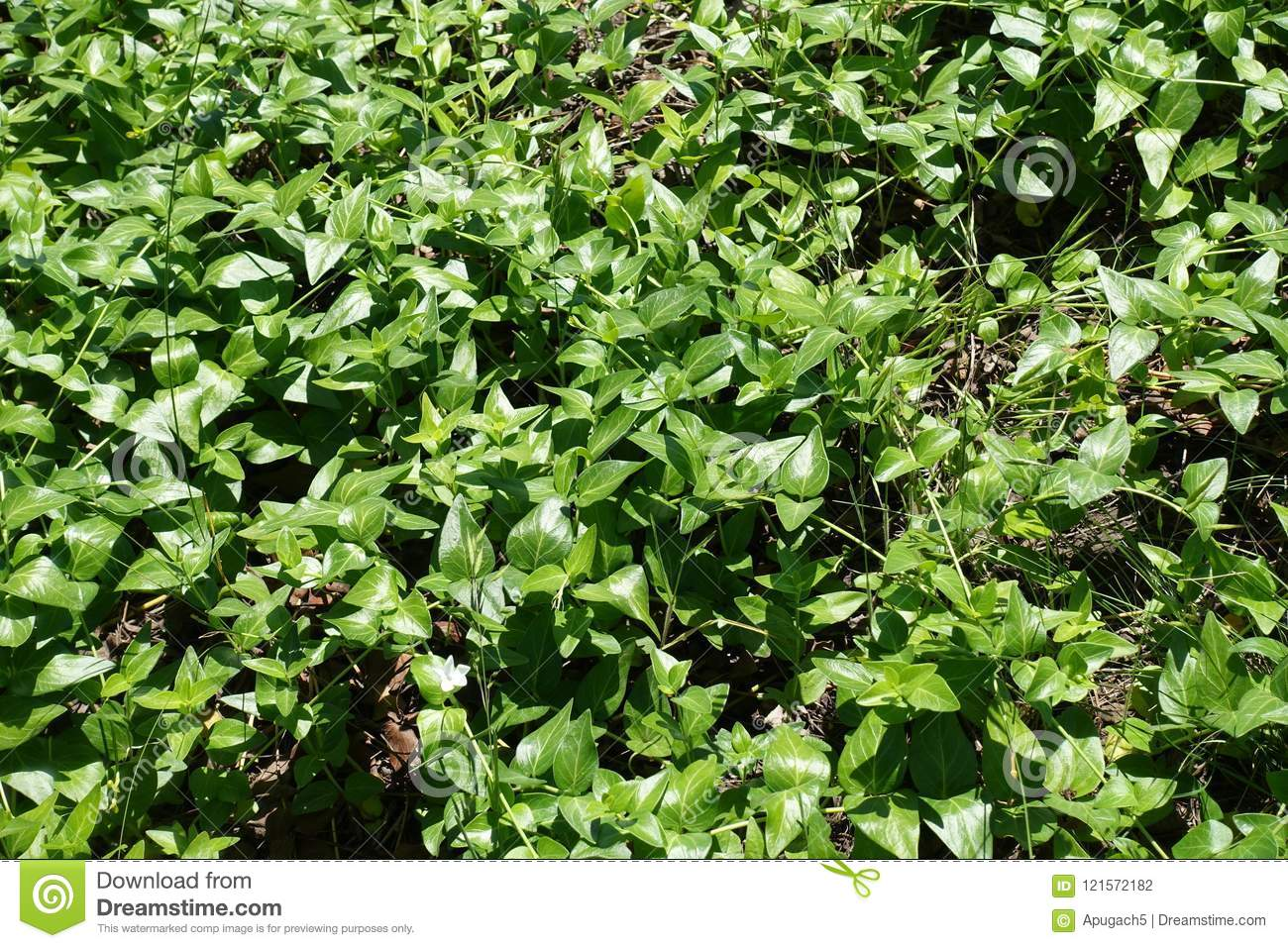 Trailing vine of vinca major with pure white flowers stock photo trailing vine of vinca major with pure white flowers mightylinksfo
