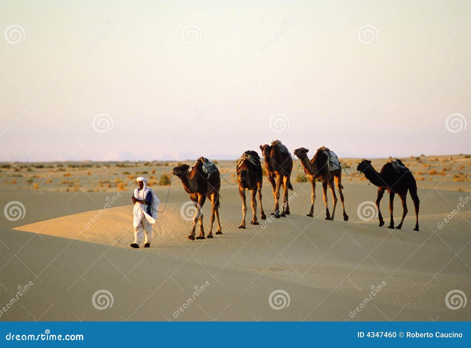 Train de chameaux