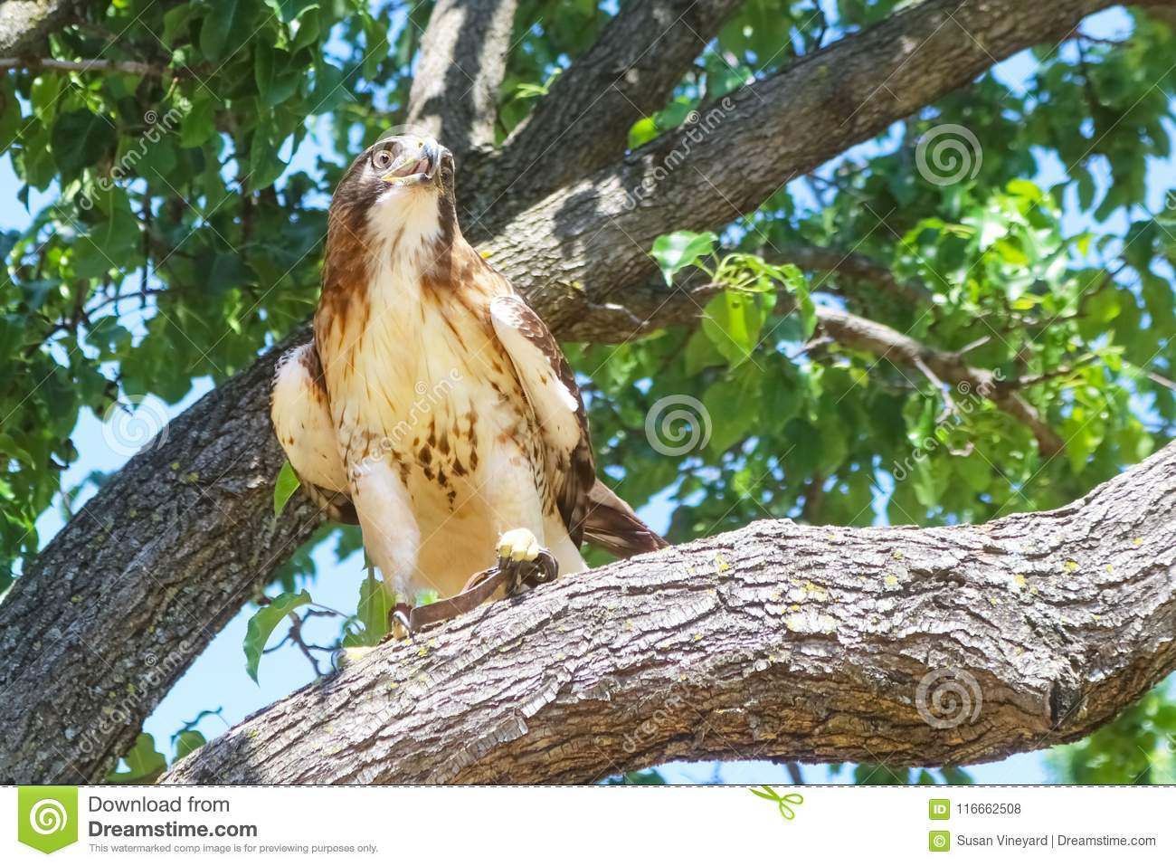 Trained falcon with leather jesses binding legs perched in a tree