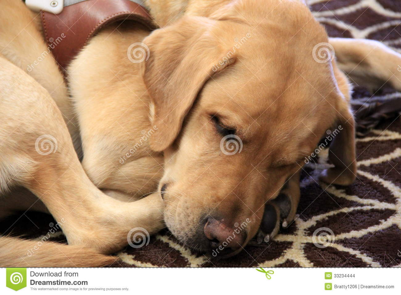 Trained Seeing Eye Dog Resting Stock Images Image 33234444