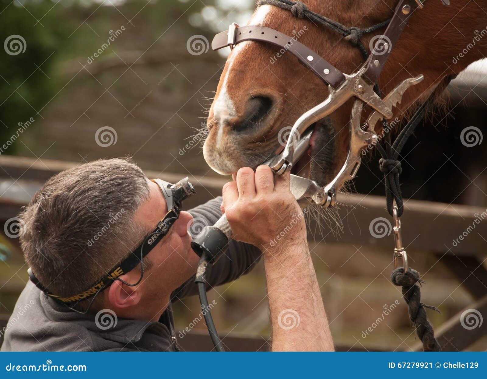 Traitement dentaire d un professionnel équin
