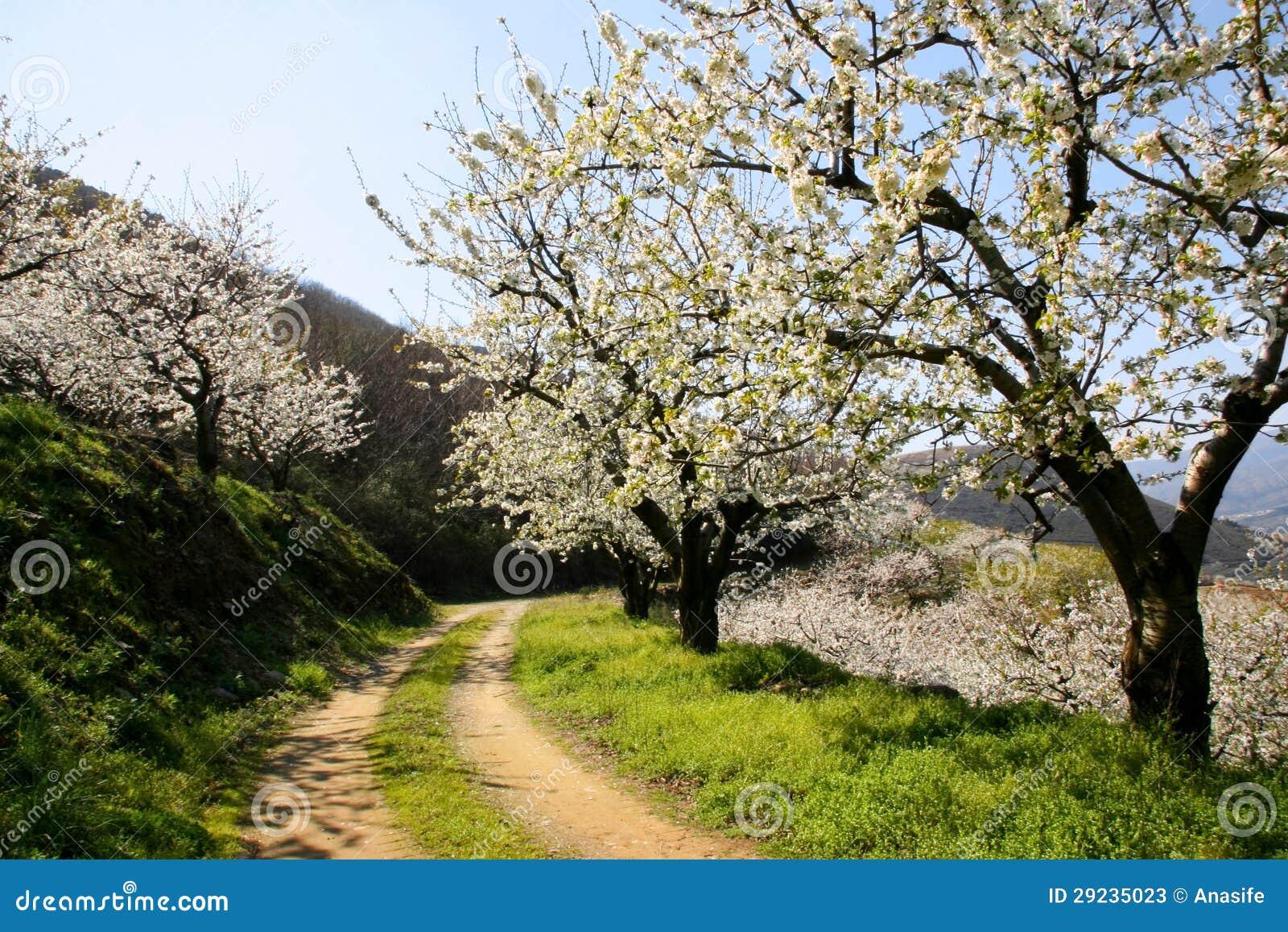 Download Trajeto Sob árvores Da Flor De Cerejeira Imagem de Stock - Imagem de spain, enrolamento: 29235023