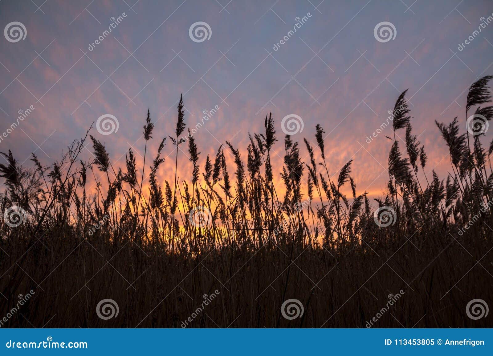 Tramonto attraverso le erbe alte, Norfolk, Inghilterra di sera di inverno