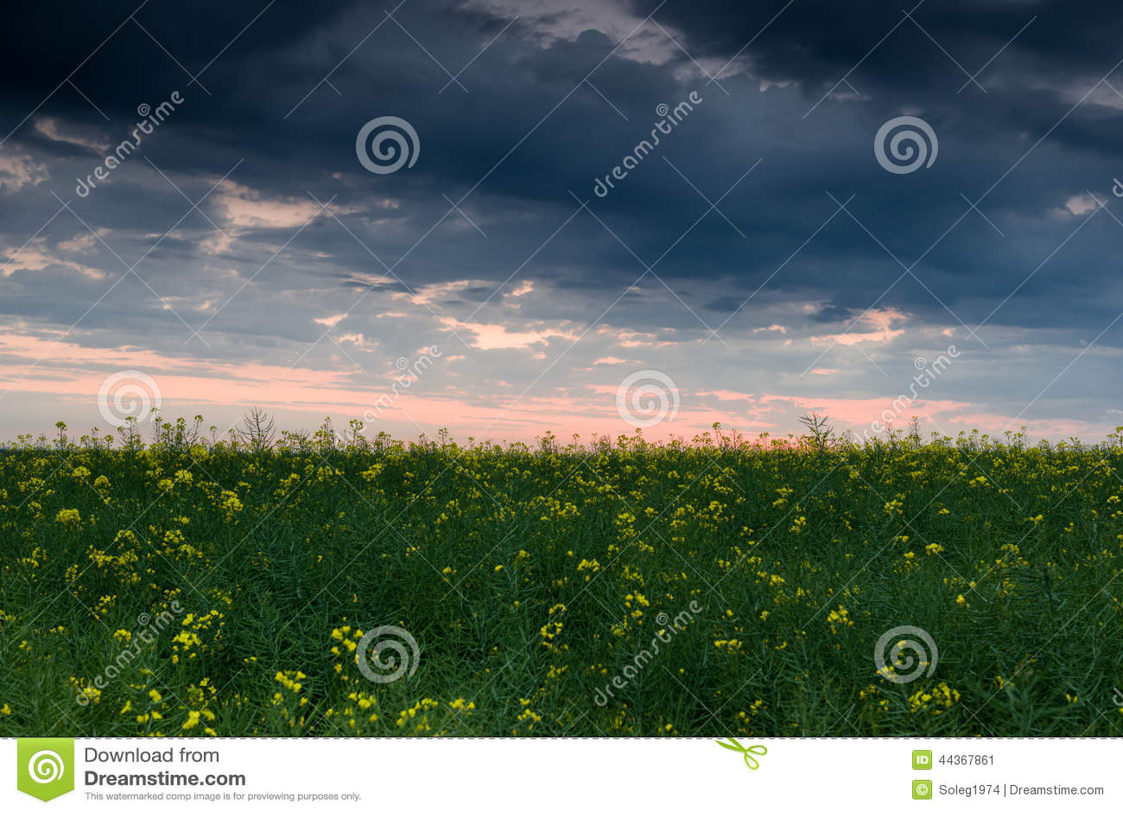 Tramonto nel giacimento giallo del seme di ravizzone