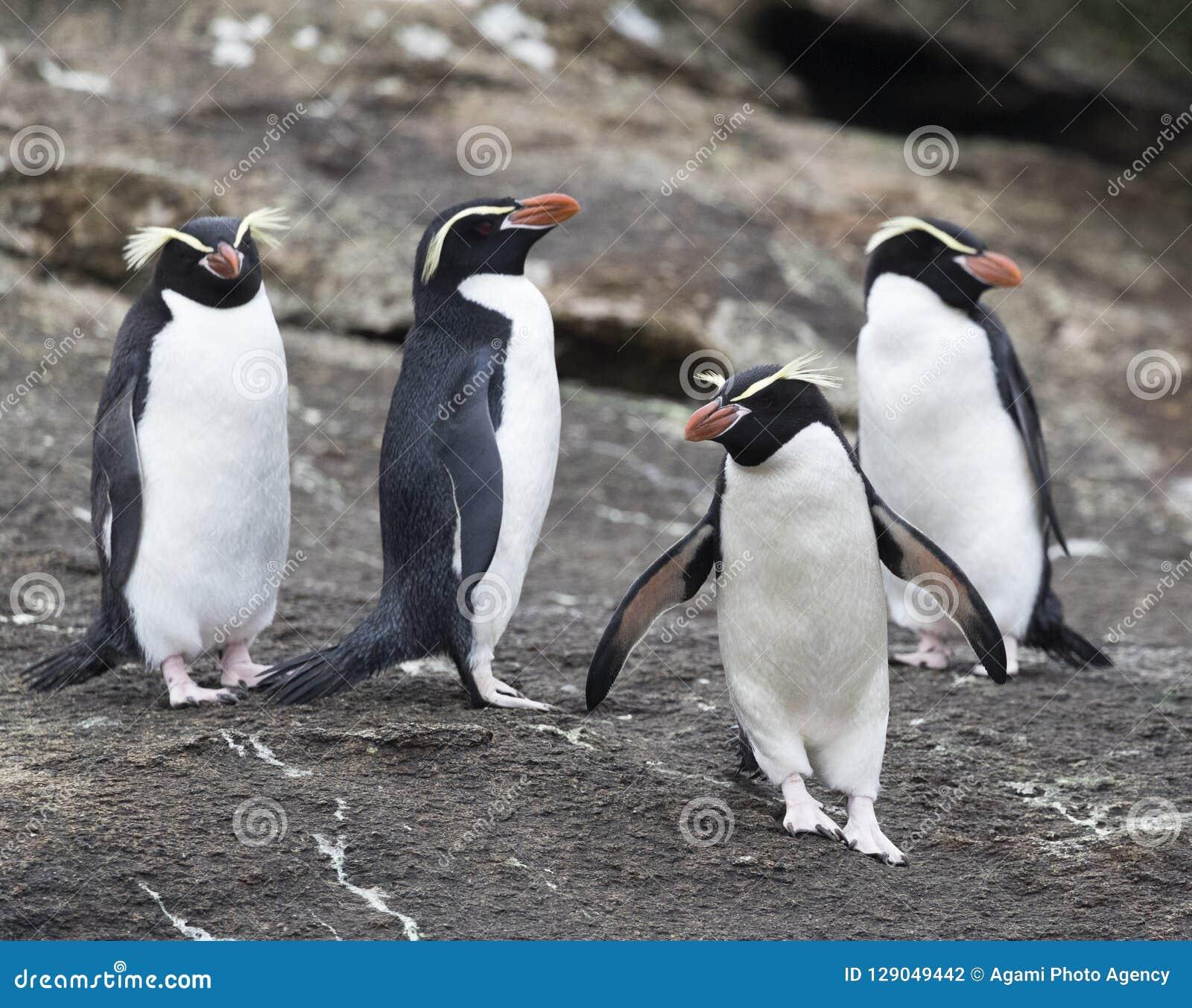 Trampas pingüino, robustus del Eudyptes