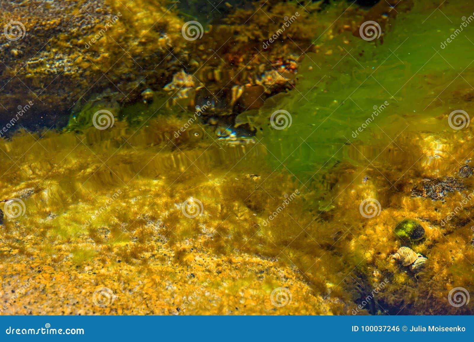 Trampas y cáscaras cubiertas con las algas, pequeñas cáscaras en el mar limpio