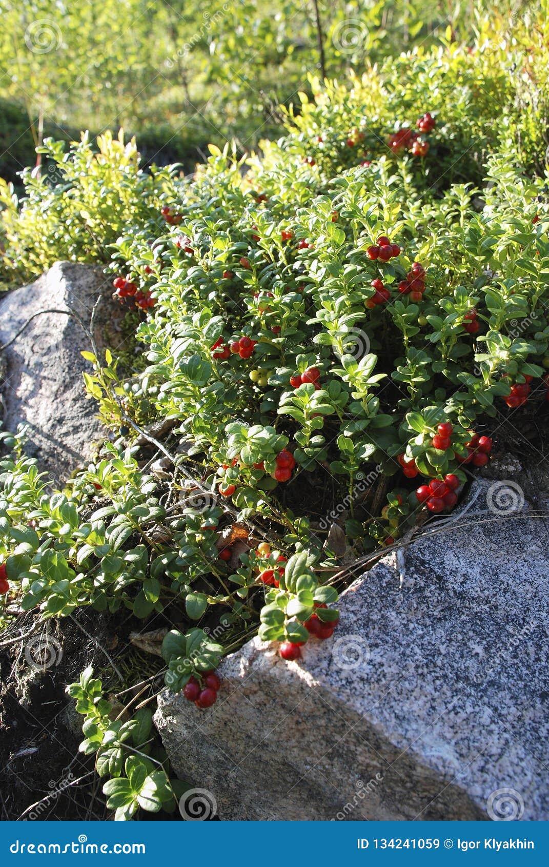 Tranbär bland berget vaggar, lösa bär, röda frukter, vitaminer, fördelar för viktförlust