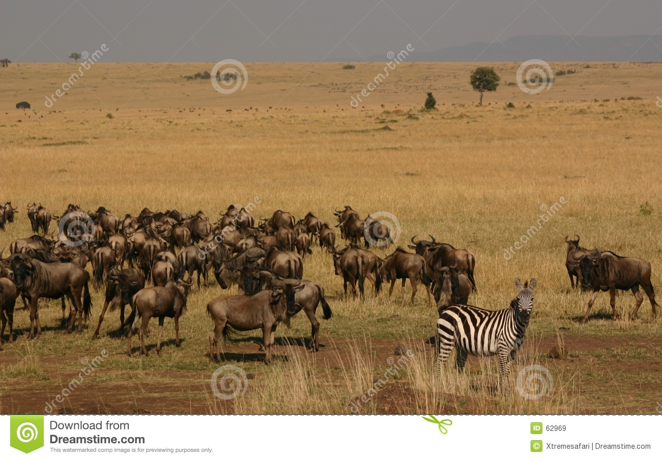 Download Transfert de Mara image stock. Image du afrique, safari - 62969