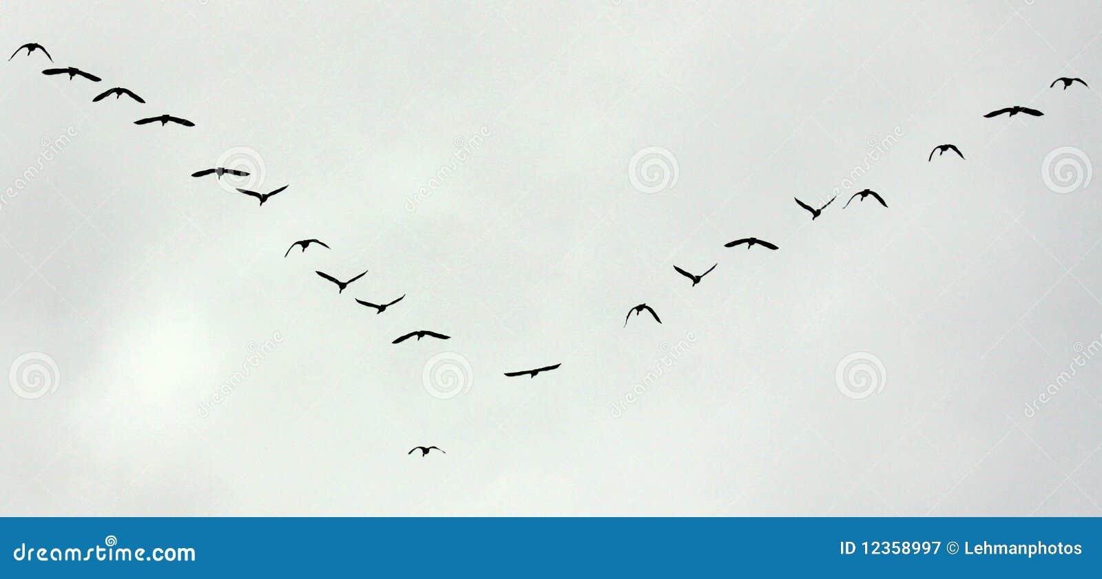 Transfert de vol d oiseaux
