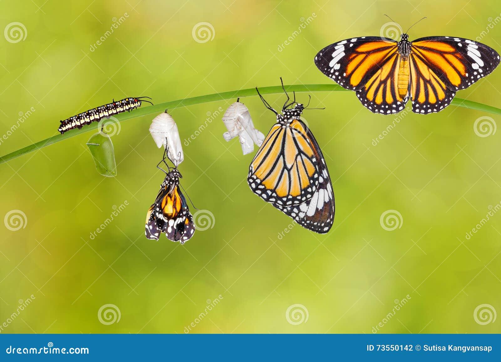 Transformatie die van gemeenschappelijke tijgervlinder uit cocon te voorschijn komen
